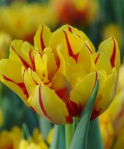 Tulip Monsella (Yellow, Red) - Bulbs