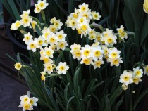 Daffodil Minnow (White) - Bulbs