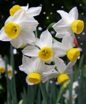 Daffodil Canaliculatus (White) - Bulbs
