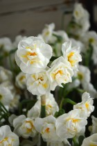Daffodil Bridal Crown (White) - Bulbs