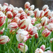 Tulip Leen Van Demark (Red, White) - Bulbs