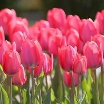 Tulip Van Eijk (Pink) - Bulbs