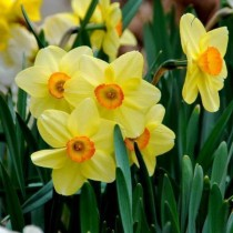 Daffodil Romaine (Yellow, Orange) - Bulbs
