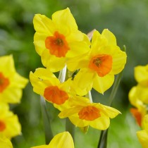 Daffodil Estremadura, Narcissus Falconet (Yellow) - Bulbs