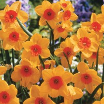 Daffodil (Orange) - Bulbs