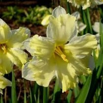 Daffodil Cassata (Yellow) - Bulbs