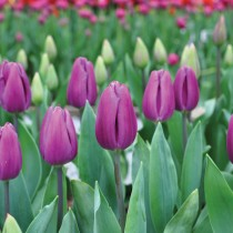 Tulip Purple Flag (Purple) - Bulbs