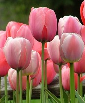 Tulip (Pink) - Bulbs