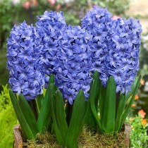 Hyacinth Delft (Blue) - Bulbs