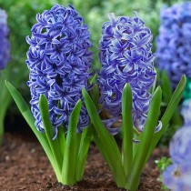 Hyacinth Blue Jacket - Bulbs