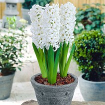 Hyacinth (White Pearl) - Bulbs