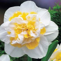 Daffodil White Lion (White, Yellow) - Bulbs