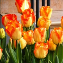 Tulip American Dream (Red, Yellow) - Bulbs