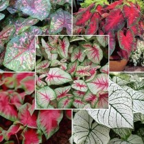 Caladium (Random Color) - Bulbs