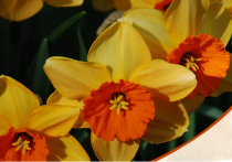 Daffodil Scarlet Gem (Yellow) - Bulbs