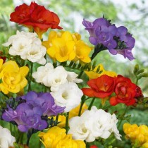 Freesia Double (Random Color) - Bulbs