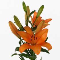 Honesty Asiatic lily (Dark Orange) - Bulbs