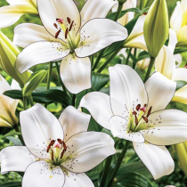 Eyeliner Asiatic Lily (White) - Bulbs