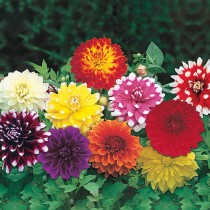 Dahlia (Mix Color) - Bulbs