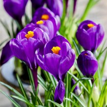 Crocus Flower Record (Purple) - Bulbs