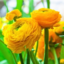 Ranunculus (Yellow) - Bulbs