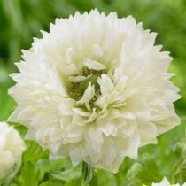 Anemone Mount Everest (White) - Bulbs