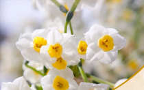 Daffodil Tazetta (White) - Bulbs
