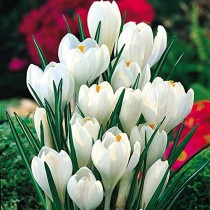 Crocus Jeanne D Arc (White) - Bulbs