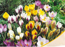 Crocus (Random Color) - Bulbs