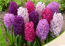 Hyacinth (Random Color) - Bulbs