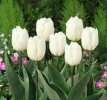 Tulip Prince (White) - Bulbs