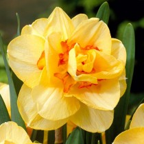 Daffodil Tahiti (Yellow, Orange) - Bulbs