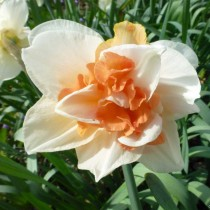Daffodil Replete (White, Orange) - Bulbs