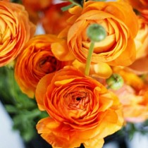 Ranunculus (Orange) - Bulbs