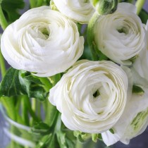 Ranunculus (White) - Bulbs
