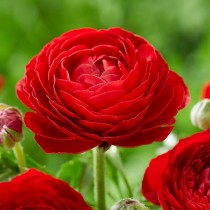Ranunculus (Red) - Bulbs
