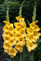 Gladiolus (Yellow) - Bulbs