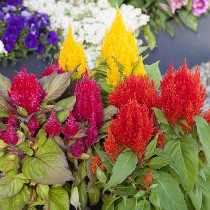Celosia flowers seeds