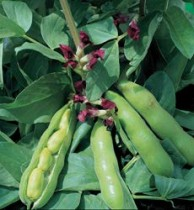 Alkarty Broad Bean, Seem Seed
