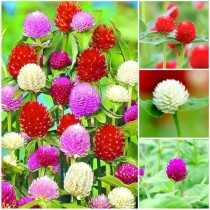 Gomphrena Flowers seeds