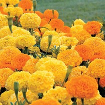Marigold Flowers seeds