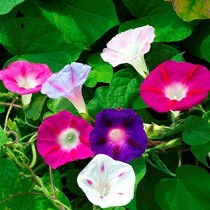 Morning Glory Flowers seeds