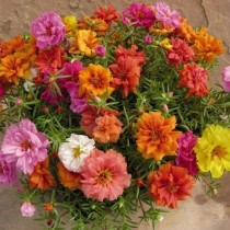 Portulaca Flowers seeds