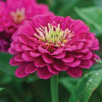 Zinnia Flowers seeds