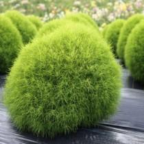 Kochia Plant seeds