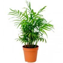 Parlour Palm - Plant