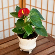 Anthurium (Any Color) - Plant
