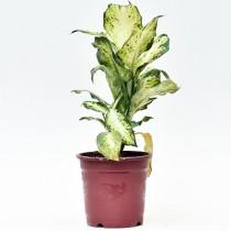 Dieffenbachia Mary - Plant