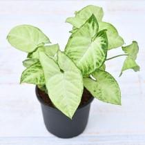 Syngonium variegated - Plant
