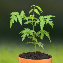 Neem Tree - Plant